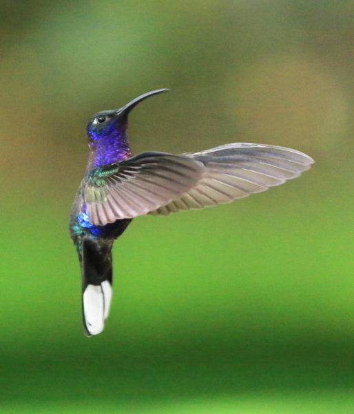 Hummingbird hovering in the air