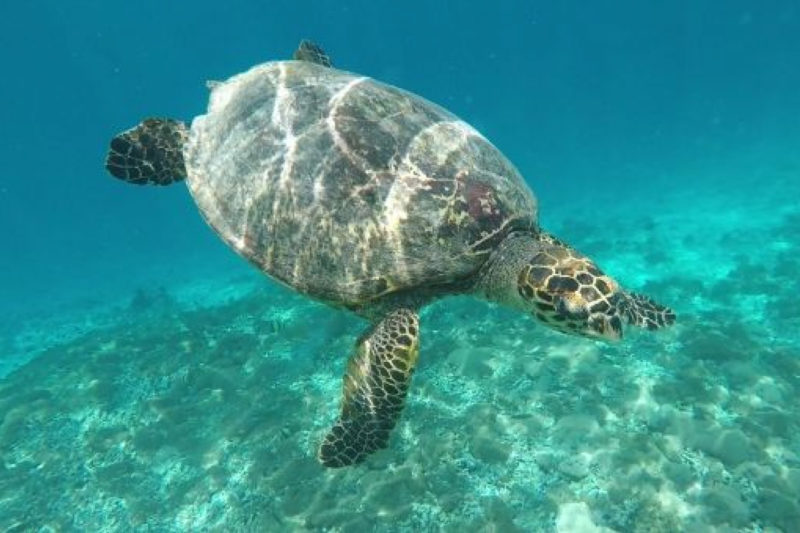Turtle observed while Snorkelling off Gili Air.